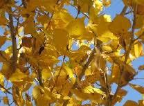 chopo hoja otoño