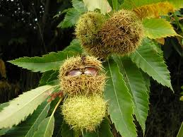 fruto castaño