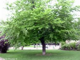 Tipos de arboles sus hojas y forma for Fresno caracteristicas