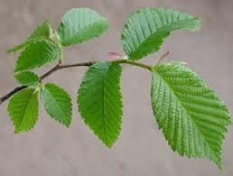 hojas del olmo
