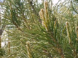 hoja del pino