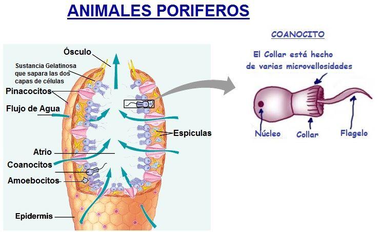 animales poriferos