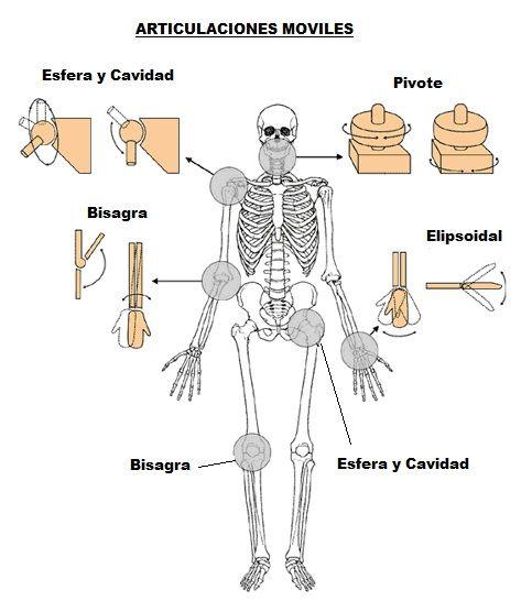 Articulaciones del Cuerpo Humano Que son Tipos Movimientos y