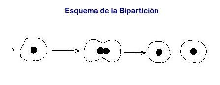 biparticion de las celulas