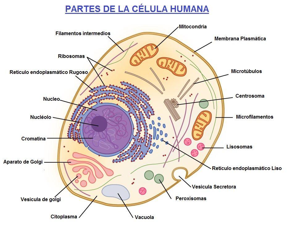 celula humana y sus partes