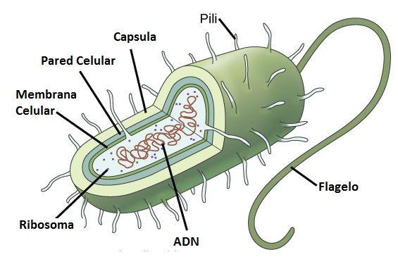 Celula procariota y eucariota estructura celular