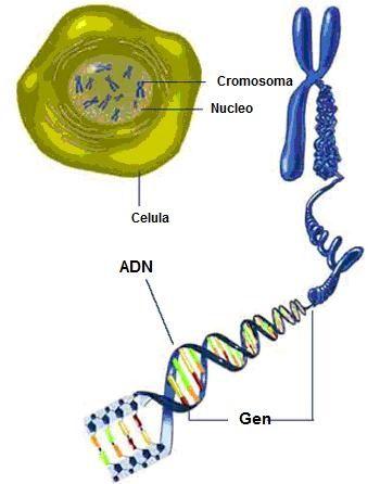 dibujo cromosoma parte: