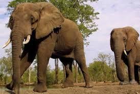 elefante africano en peligro de extincion