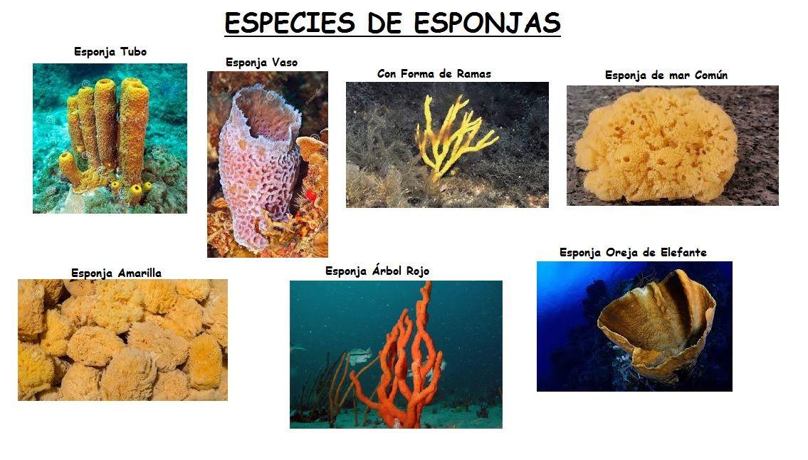 Animales Poriferos o Esponjas. Que son, Caracteristicas, Tipos.