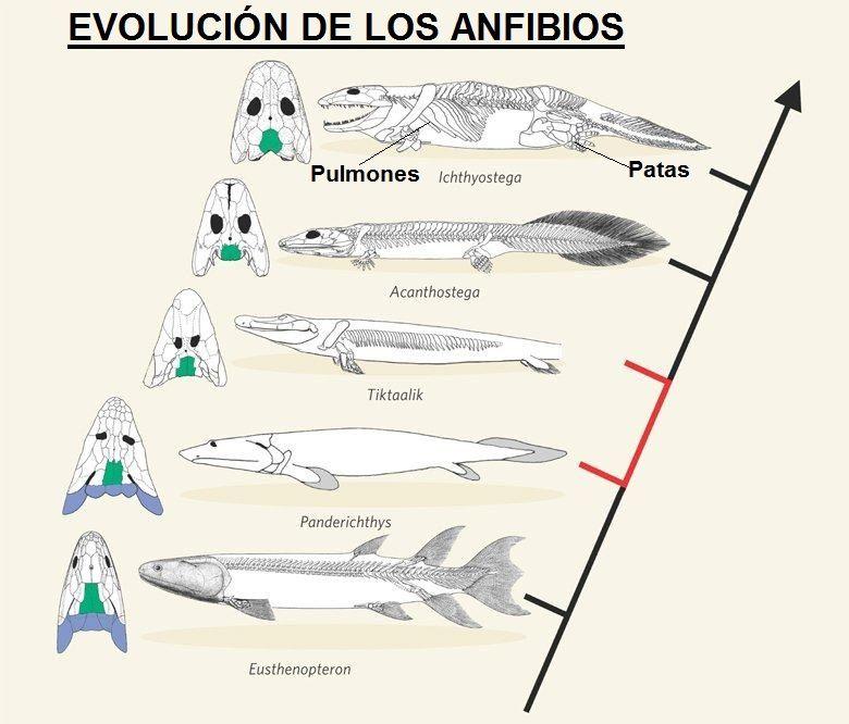 evolucion de los animales anfibios