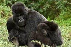 gorilas de montaña en peligro de extincion