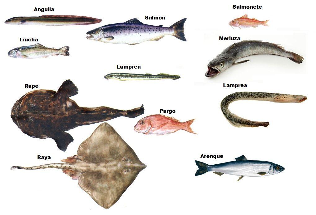 Peces animales vertebrados msm for Variedad de peces
