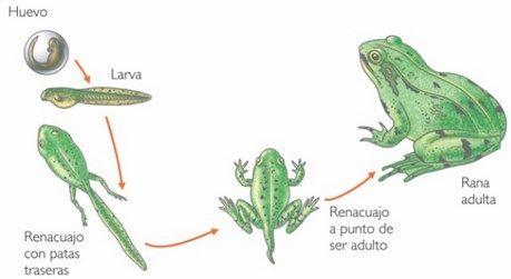metamorfosis anfibios