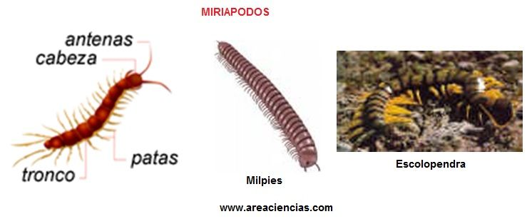 miriapodos