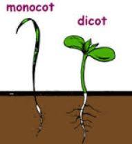 monocotiledon y dicotiledon