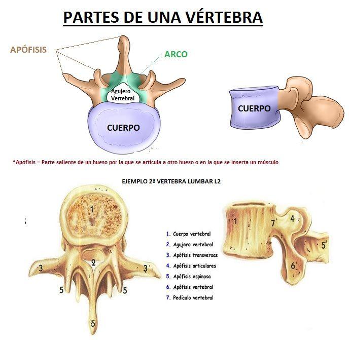 partes de una vertebra