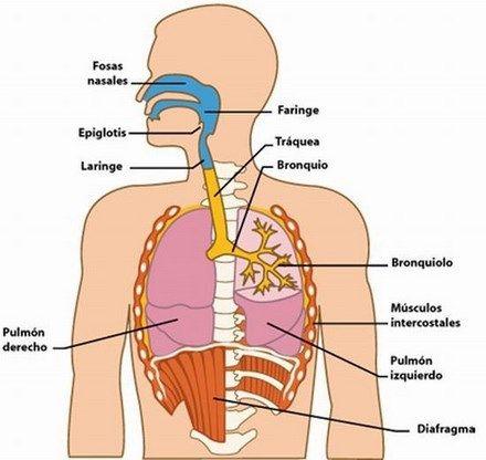 Estructura y partes del sistema respiratorio