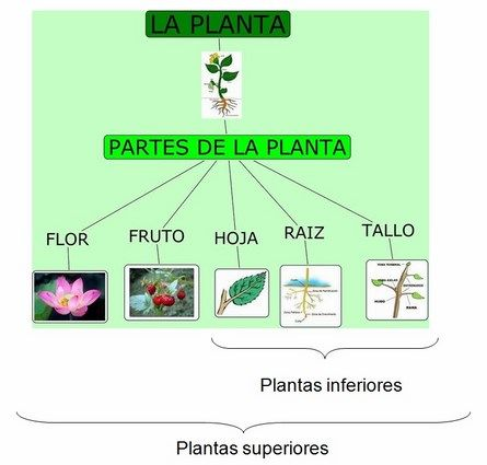 Ciencia reino planta web for Tipos de arboles y sus caracteristicas