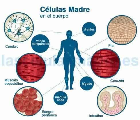 celulas madres procedencia