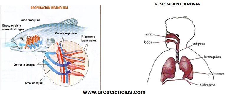 respiracion vertebrados