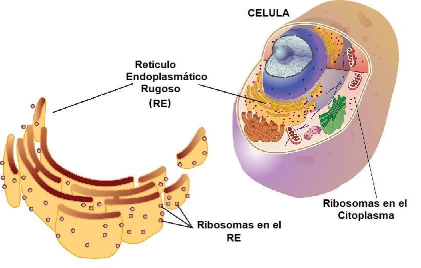 ribosomas en la celula