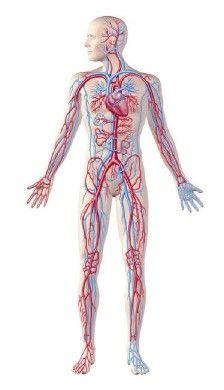Circuito Circulatorio : Aparato circulatorio humano aprende facil