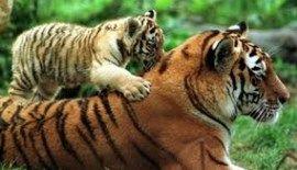 el tigre en peligro de extincion