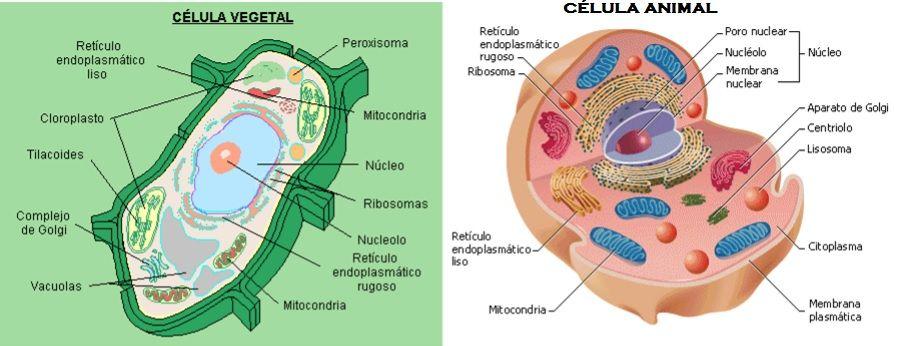 Celula Animal y Vegetal Definicin partes imagenes