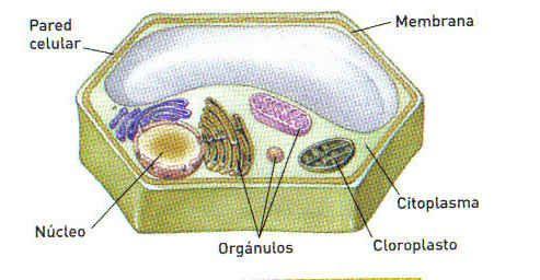 partes de las vegetales