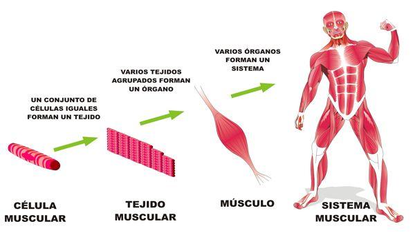celulas tejidos organos y sistema