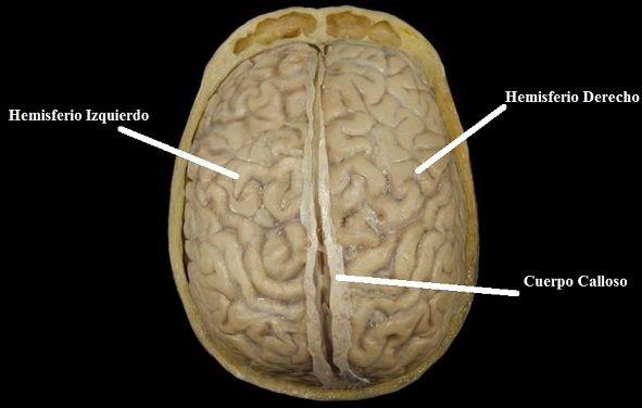 Hemisferios Cerebrales. ¿Cómo Son? Funciones y Personalidad