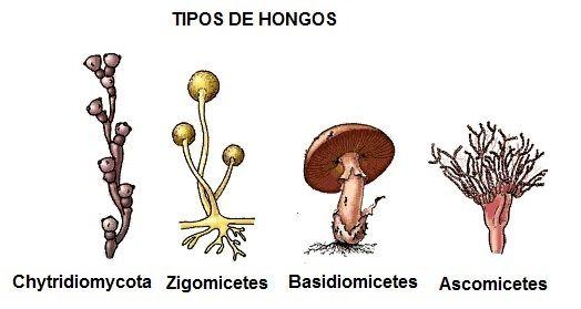 tipos de hongos